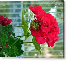 Stunning Red Geranium Acrylic Print