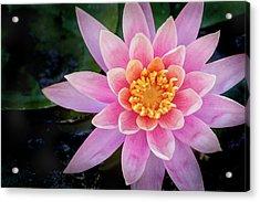 Stunning Water Lily Acrylic Print
