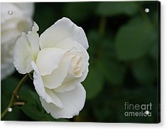 Stunning White Tineke Rose Acrylic Print
