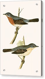 Sub Alpine Warbler Acrylic Print by English School