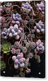 Acrylic Print featuring the photograph Succculents  by Catherine Lau
