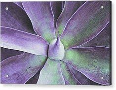 Succulent Beauty Acrylic Print by James Mancini Heath