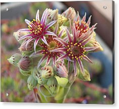 Succulent Cactus Acrylic Print by Laurie Kidd