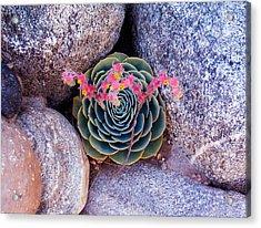 Succulent Flowers Acrylic Print by Mark Barclay