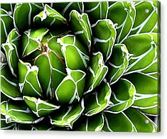 Succulent In Color Acrylic Print by Ranjini Kandasamy