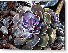 Acrylic Print featuring the photograph Succulent Plant Poetry by Silva Wischeropp