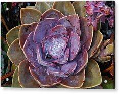 Succulent Star Acrylic Print