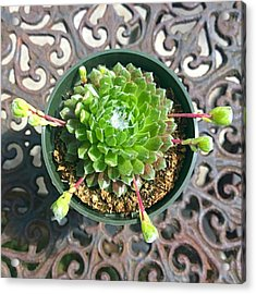 #succulent With Chicks! Today's Acrylic Print