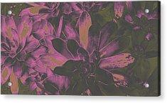 Succulents #3 Acrylic Print