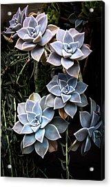 Acrylic Print featuring the photograph Succulents Graptopetalum Paraguayense     by Catherine Lau