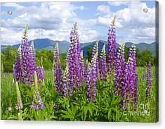 Sugar Hill Lupines Acrylic Print by Alice Mainville