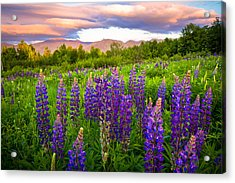 Sugar Hill Lupines Acrylic Print