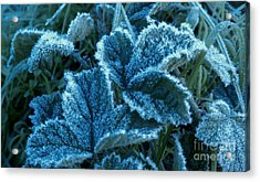 Acrylic Print featuring the photograph Sugar Ivy by Garnett  Jaeger