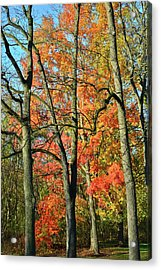 Acrylic Print featuring the photograph Sugar Maple Brilliance by Ray Mathis