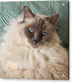 Sugar My Ragdoll Cat Acrylic Print