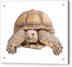 Sulcata Tortoise Crawling Forward Acrylic Print