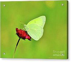 Sulphur Butterfly On Knautia Acrylic Print