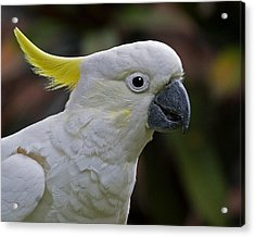 Sulphur-crested Cockatoo Acrylic Print by Larry Linton