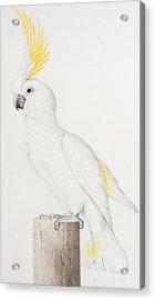Sulphur Crested Cockatoo Acrylic Print by Nicolas Robert