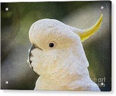 Sulphur Crested Cockatoo Acrylic Print by Avalon Fine Art Photography