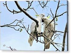 Sulphur Crested Cockatoos Acrylic Print by Kaye Menner