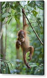 Sumatran Orangutan Pongo Abelii One Acrylic Print by Suzi Eszterhas