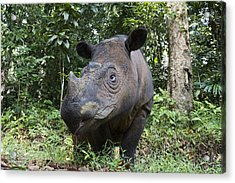 Sumatran Rhinoceros Sumatran Rhino Acrylic Print