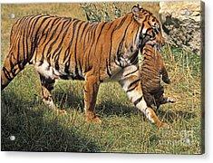 Sumatran Tiger Acrylic Print by Gerard Lacz