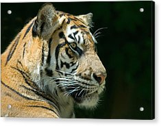 Sumatran Tiger Acrylic Print by Mary Lane
