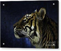 Sumatran Tiger Profile Acrylic Print by Avalon Fine Art Photography