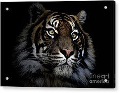 Sumatran Tiger Acrylic Print by Avalon Fine Art Photography