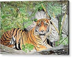 Sumatran Tiger Acrylic Print by Yvonne Johnstone