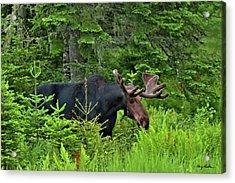 Summer Bull Acrylic Print