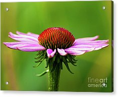 Summer Burst... Acrylic Print by Nina Stavlund