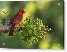Summer Cardinal New Jersey Acrylic Print
