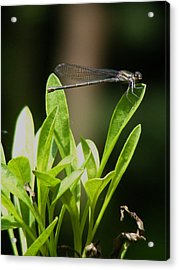Acrylic Print featuring the photograph Summer Damselfly by Margie Avellino