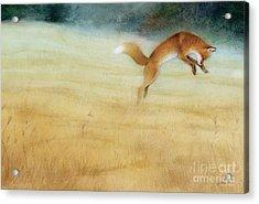 Summer Gold Fox Acrylic Print by Tracy Herrmann