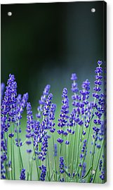 Summer Lavender Acrylic Print