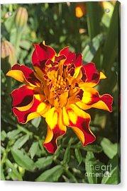 Summer Marigold Acrylic Print