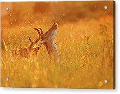 Summer Mood - Fallow Deer On A Summer Evening Acrylic Print by Roeselien Raimond