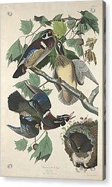 Summer Or Wood Duck Acrylic Print