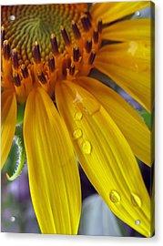 Summer Rain On Sunflower Acrylic Print by Barbara McDevitt