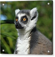 Summer Ring-tailed Lemur Acrylic Print by Margaret Saheed