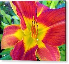 Summer Salsa Lily Acrylic Print by Cynthia Daniel