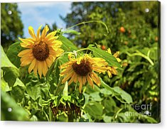 Summer Sunflowers Acrylic Print