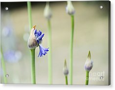 Summertime Blues   Acrylic Print