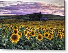 Summertime Sunflowers Acrylic Print