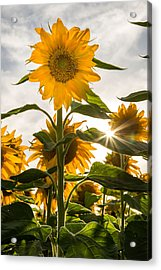 Sun And Sunflowers Acrylic Print