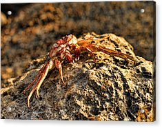 Sun-baked Spider Crab Acrylic Print