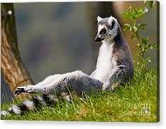 Sun Bathing Ring-tailed Lemur  Acrylic Print